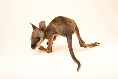 Photo: A five month old Tammar wallaby (Macropus eugenii) named Billy at Moonlit Sanctuary.