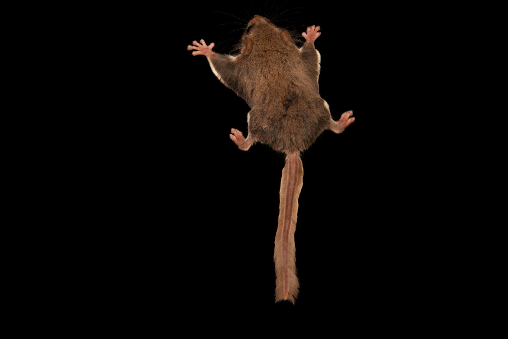 Photo: Feathertail glider (Acrobates pygmaeus) at Moonlit Sanctuary.