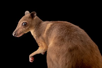 Photo: A greater forest wallaby (Dorcopsis hageni) from a private collection.