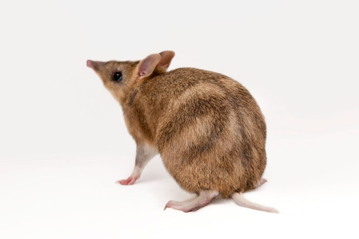 Photo: An eastern barred bandicoot (Perameles gunni) at the Melbourne Zoo.