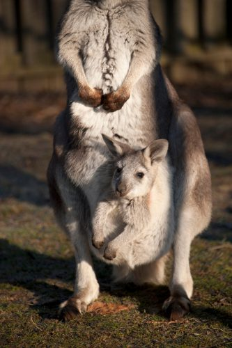 Photo: A common wallaroo (Macropus robustus) with joey in pouch at Miller Park Zoo.