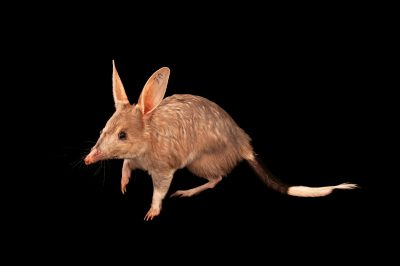 Photo: A bilby (Macrotis lagotis) at Dreamworld.