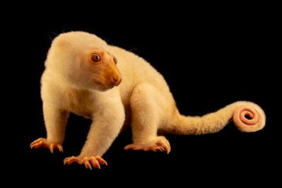 A common spotted cuscus (Spilocuscus maculatus) in Jakarta, Indonesia, under the care of PT. Alam Nusantara
