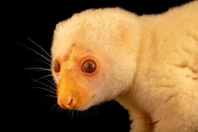 Photo: A common spotted cuscus (Spilocuscus maculatus) at a private collection in Jakarta, Indonesia.