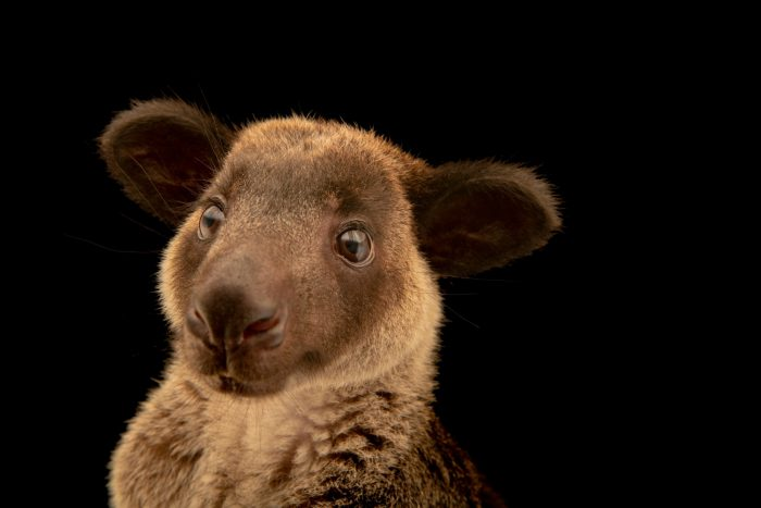Photo: A grizzled tree-kangaroo (Dendrolagus inustus) at a private collection in Jakarta, Indonesia.
