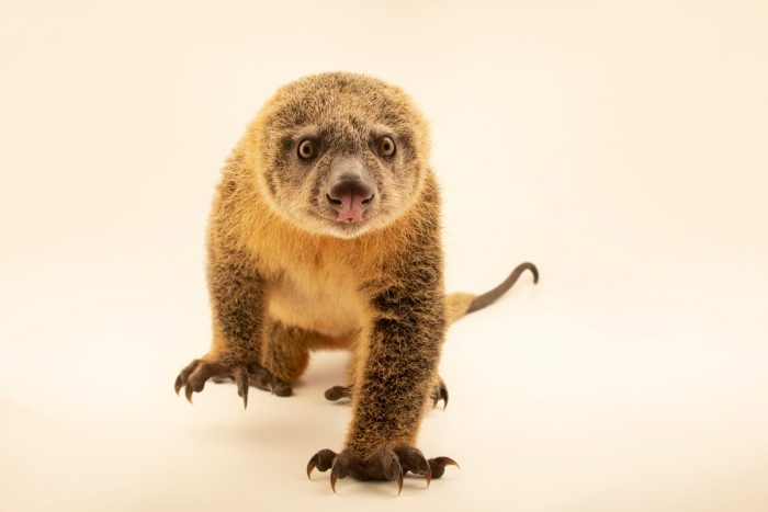 Photo: A critically endangered Talaud bear cuscus (Ailurops melanotis) at a private collection in Jakarta, Indonesia.