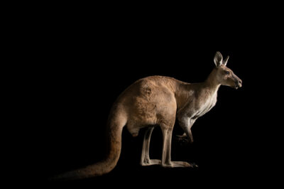 Photo: A male Western grey kangaroo (Macropus fuliginosus melanops) at Tierpark Berlin.