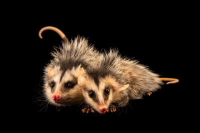 Photo: A pair of sister, six-month-old, Andean white-eared opossums (Didelphis pernigra) at Zoologico de Quito.