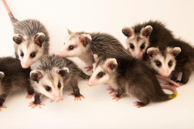 Photo: Seven juvenile Virginia opossums (Didelphis virginiana virginiana) at the WildCare Foundation, a wildlife rehabber in Noble, Oklahoma.