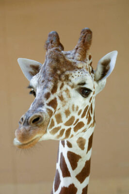 Photo: Reticulated giraffe at the Omaha Zoo.
