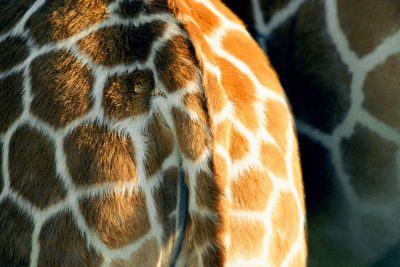 Photo: Thompson's giraffe (Giraffa camelopardalis) at the Rolling Hills Wildlife Adventure.
