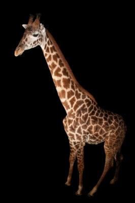 A Masai giraffe (Giraffa camelopardalis tippelskirchi) at the Houston Zoo.