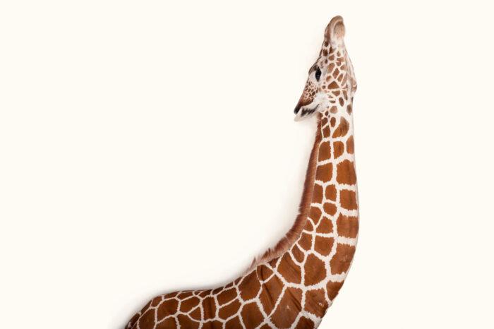 A vulnerable reticulated giraffe (Giraffa camelopardalis reticulata) at Rolling Hills Wildlife Adventure near Salina, Kansas.