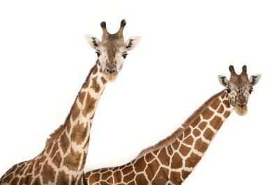 A vulnerable reticulated giraffe (Giraffa camelopardalis reticulata) with finer white lines in pattern, and an endangered Rothschild giraffe (Giraffa camelopardalis rothschildi) at Rolling Hills Wildlife Adventure near Salina, Kansas.