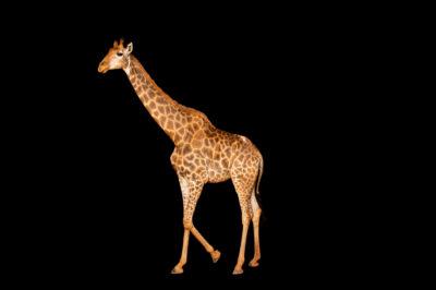 Photo: A cape giraffe (Giraffa giraffa giraffa) at Fundacao Jardim Zoologico de Brasilia.