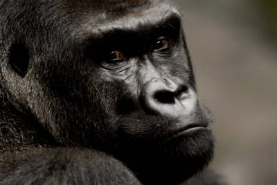 Western lowland gorilla (Gorilla gorilla gorilla) at Omaha's Henry Doorly Zoo. Listed as critically endangered and federally endangered.