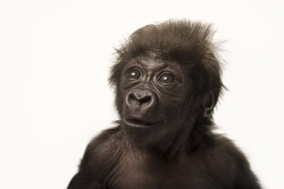 A critically endangered and federally endangered, six-week-old female baby gorilla (Gorilla gorilla gorilla) at the Cincinnati Zoo.