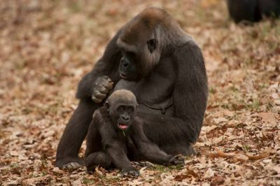 A critically endangered and federally endangered western gorilla (Gorilla gorilla gorilla) with her infant.