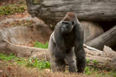 A critically endangered and federally endangered western gorilla (Gorilla gorilla gorilla).