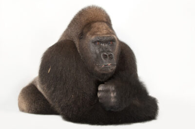 A critically endangered and federally endangered male Western lowland gorilla (Gorilla gorilla gorilla) named Lamydoc, at the Gladys Porter Zoo in Brownsville, Texas. Lamydoc was born in 1963.