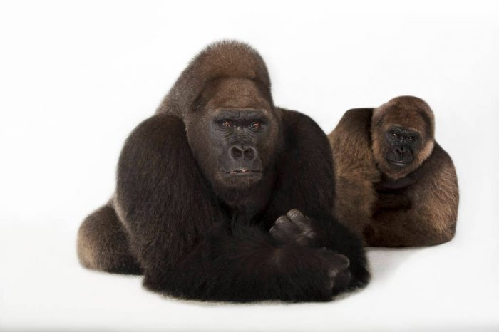 A male and a female Western lowland gorilla (Gorilla gorilla gorilla) at the Gladys Porter Zoo in Brownsville, Texas. The male's name is Lamydoc. The female's name is Katanga. Listed as critically endangered and federally endangered
