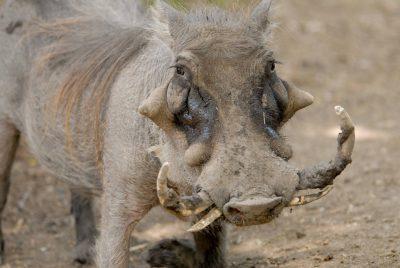 Photo: Warthog (Phacochoerus aethiopicus) at the Omaha Zoo.