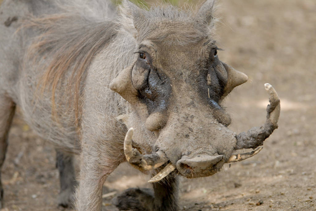 Photo: Warthog (Phacochoerus aethiopicus) at the Omaha Zoo.