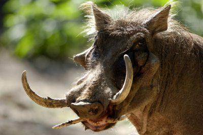 Photo: A warthog at the Omaha Zoo.