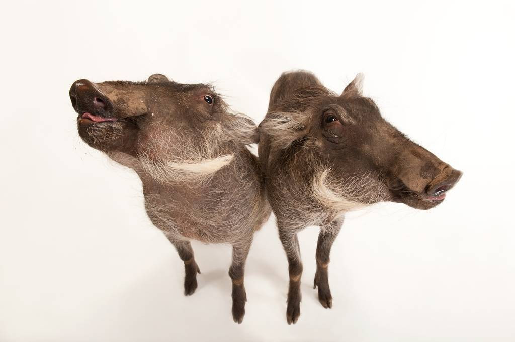 Warthogs (Phacochoerus africanus) at the Columbus Zoo.