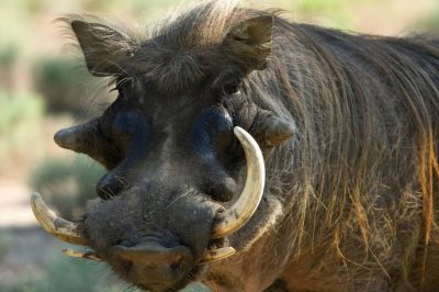 Photo: A warthog at the Sedgwick County Zoo.