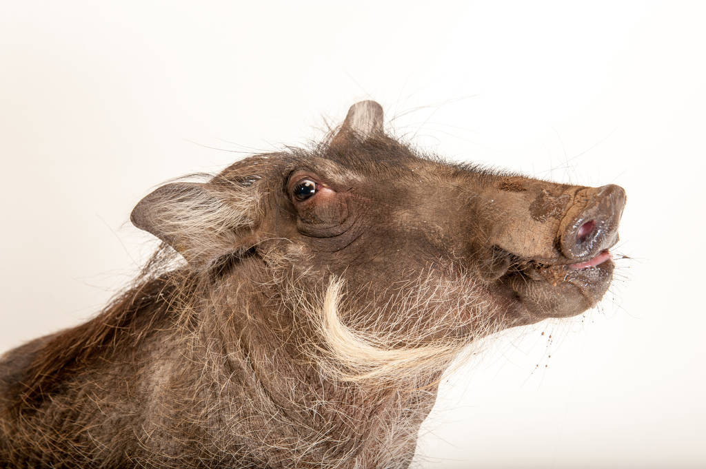 An 8-month-old common warthog (Phacochoerus africanus) at the Columbus Zoo.