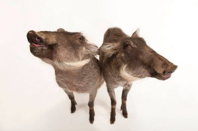 A pair of 8-month-old common warthogs (Phacochoerus africanus) at the Columbus Zoo.