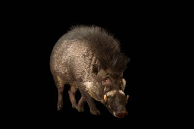 Picture of a critically endangered Visayan warty pigs (Sus cebifrons) at the Minnesota Zoo.