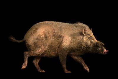 Photo: Western bearded pig (Sus barbatus) at Taiping Zoo.
