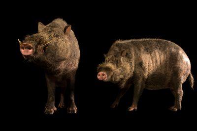 Photo: Bornean bearded pigs (Sus barbatus barbatus) at Taiping Zoo.