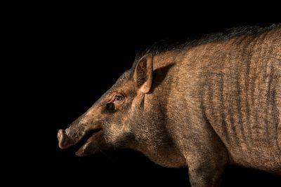 Photo: Indonesian wild boar (Sus scrofa vittatus) at Taiping Zoo.
