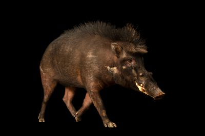 Photo: A Philippine warty pig (Sus philippensis philippensis) at the Avilon Wildlife Conservation Foundation.