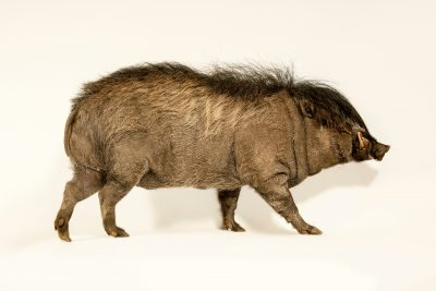 Photo: Critically Endangered Visayan warty pig (Sus cebifrons) at Zoo Boise