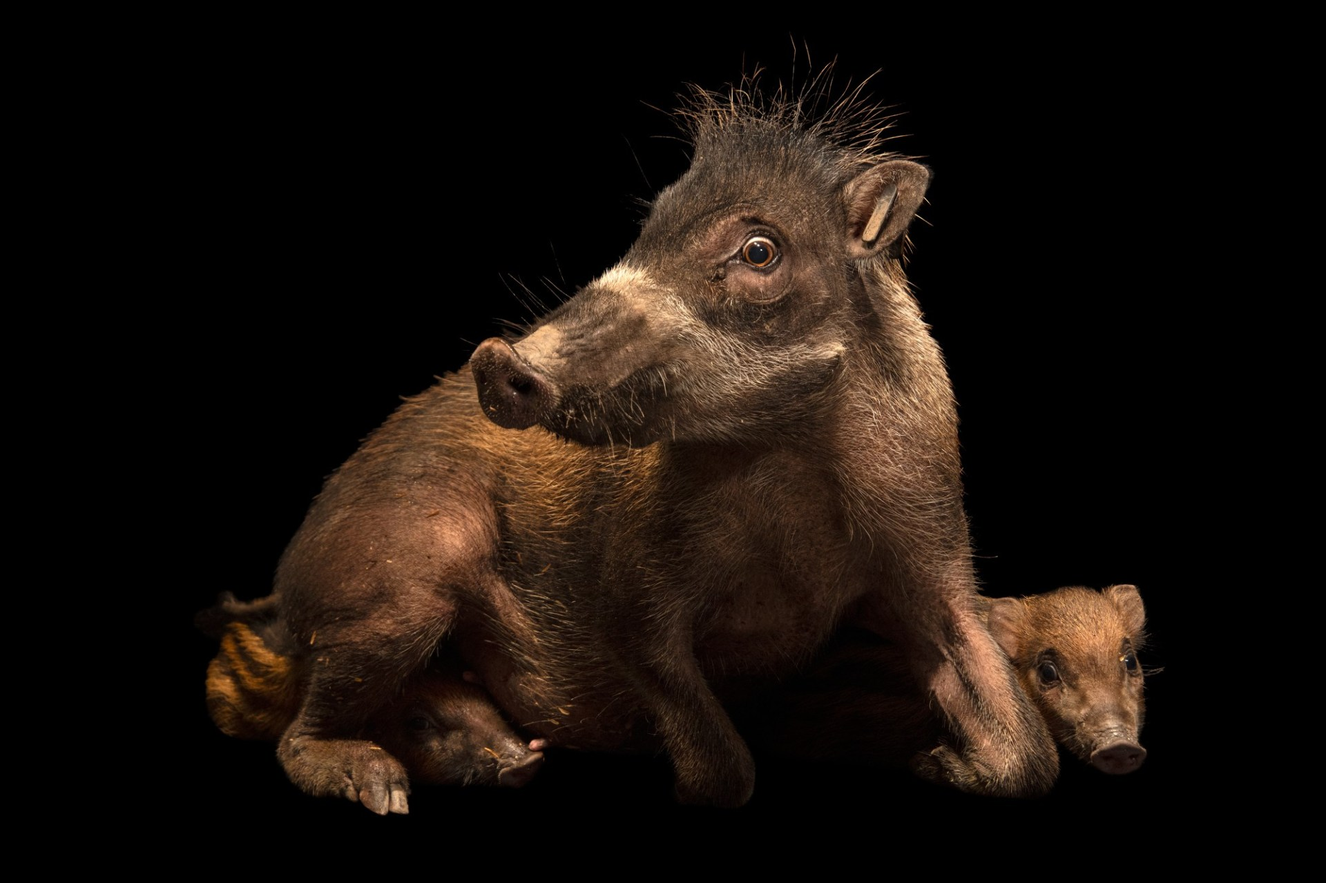 Photo: Three critically endangered Negros warty pigs (Sus cebifrons negrinus) at Negros Forest Park.