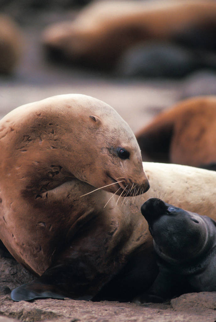 Photo: A mother and pup sea lion on the west side of Lowrie Island in Alaska.