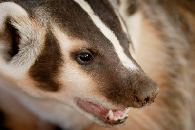 Picture of a badger (Taxidea taxus) at a wildlife rescue facility near Talmadge, NE.