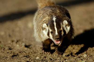 Picture of a hand-raised badger (Taxidea taxus) at the home of a member of the wildlife rescue network in Eastern Nebraska.