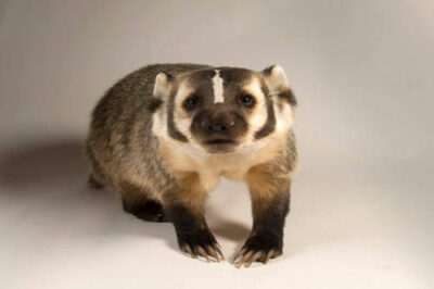 Picture of a badger (Taxidea taxus) at Wildlife Images, an animal rehabilitation center near Merlin, OR.