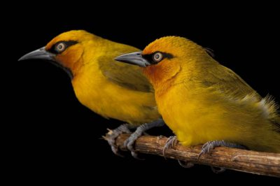 Spectacled weavers (Ploceus ocularis) collected near the Field Museum's base camp in the foothills of the Mount Gorongosa range.