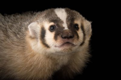 Picture of a young American Badger (Taxidea taxus) at Nebraska Wildlife Rehab in Louisville, Nebraska.
