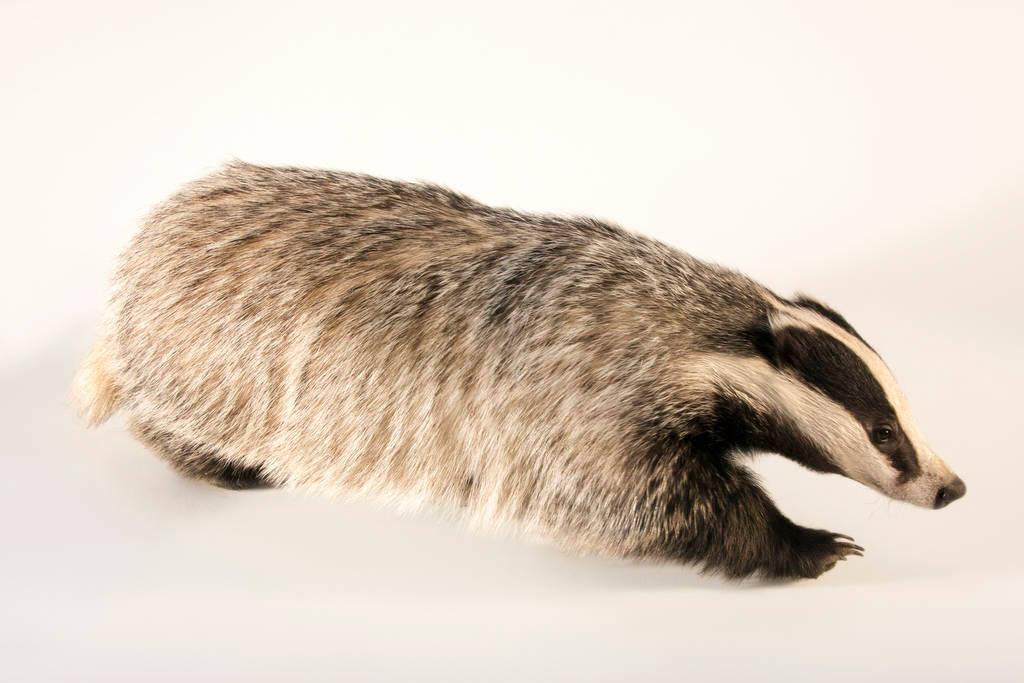 "Photo: A female Eurasian badger (Meles meles) at Centro Fauna Selvatica ""Il Pettirosso""."