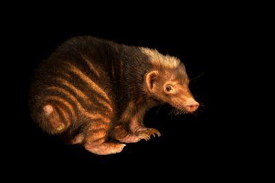 Photo: Palawan stink badger (Mydaus marchei) at Avilon Zoo.