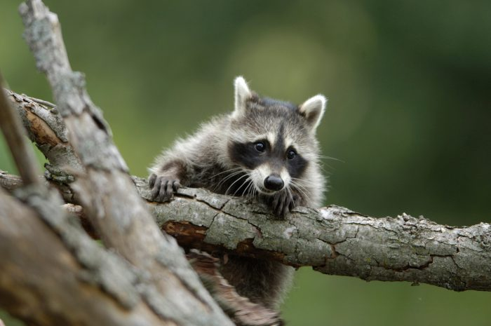 Photo: A hand-raised raccoon at a wildlife rescue member's home in Eastern Nebraska.