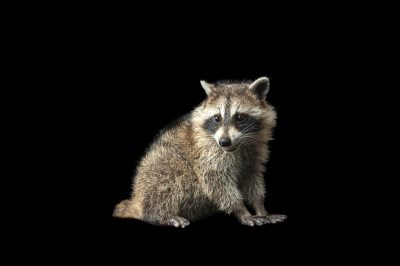 A common raccoon (Procyon lotor).