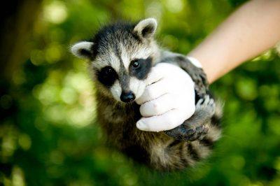 A juvenile raccoon (Procyon lotor).